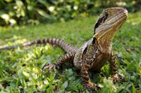 Pack a picnic (or let me organise one for you) & spend a few hours at Blackbutt Reserve - Eastern water dragon #bespokehunter