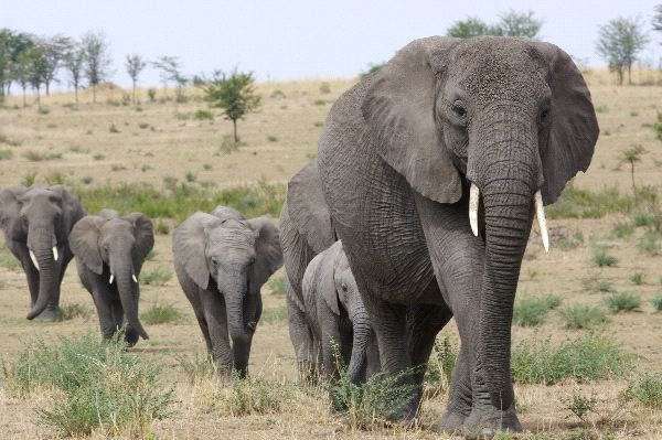 African Elephants May Go Extinct Within The Next Decade | True ...