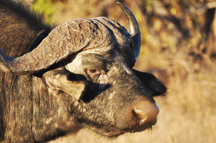 #MongenaPrivateGameReserve #Buffalo #Wildlife #Nature