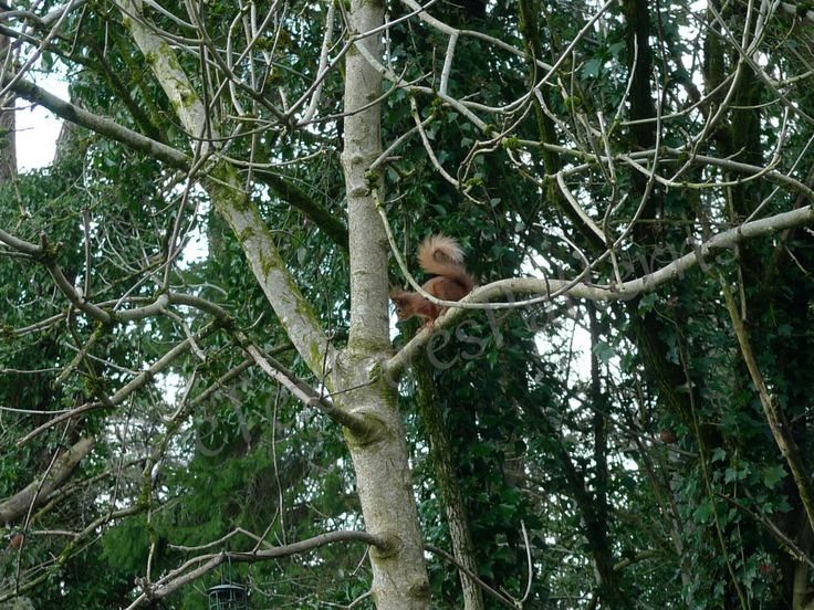 Red squirrel in bare ash tree, instant digital download photograph, grey branch…