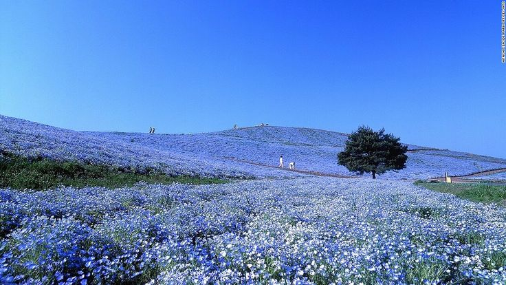 "Also known as ""baby blue eyes,"" more than four million nemophilas bloom from late April to May in Hitachi Seaside Park, the public park on Miharashi Hill.<br />The Nemophila Harmony is the highlight of park's flowering events. <br />The 190-hectare park constantly changes color with the seasons. During the transition into fall, puffy kochia shrubs turn from vibrant green to fiery red.<a href=""http://en.hitachikaihin.jp/"" target=""_blank"">&lt..."
