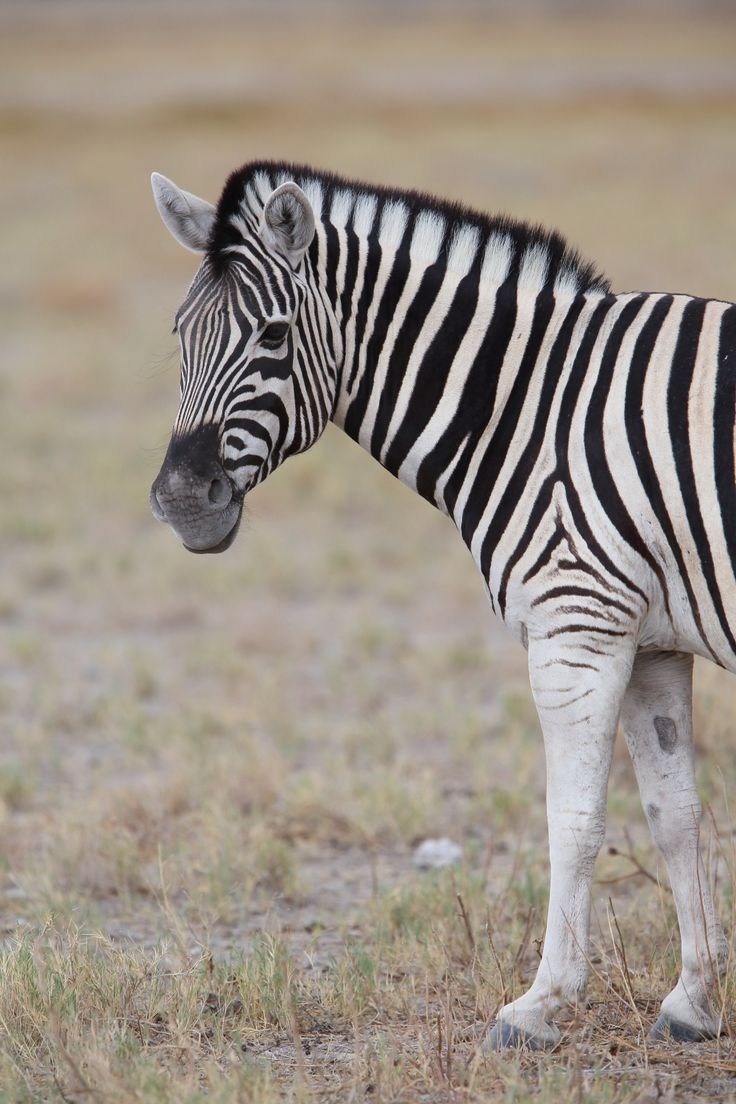 Burchell's Zebra © Jonathan Rossouw http://www.apex-expeditions.com/expedition/namibia/