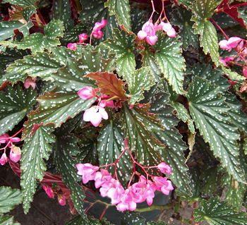 Begonia 'Sherri Rose'