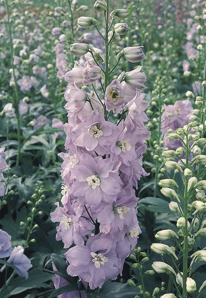 Just Seed Flower Delphinium Pacific Guinevere 125