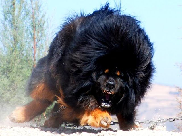 Temperament and Behavior of world expensive dog Tibetan Mastiff . . .click on pic to see more
