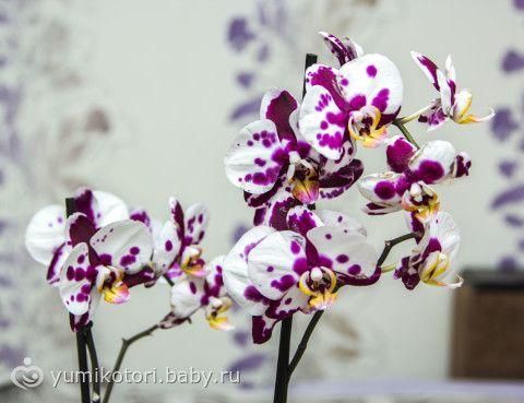 Картинки по запросу фаленопсис белый с фиолетовой крапинкой