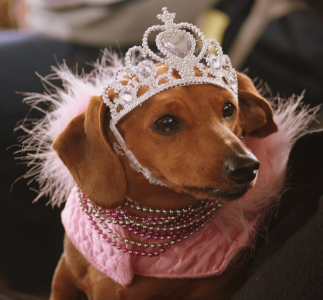 Image result for princess dachshunds