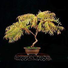 Staghorn Sumac - Rhus Typhina (10 Bonsai Seeds)