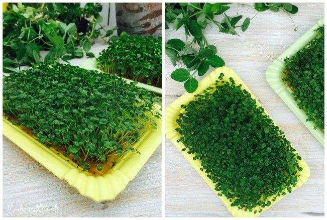 Chia-karse eller chia-spirer kan du nemt lave derhjemme selv.