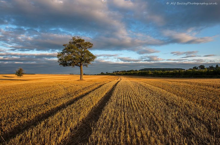 Tracks: A lonely tree amongst the morning golden hay stubble in recently harvested field