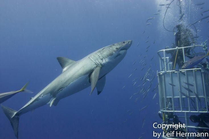 """""""Incredibly majestic, curious and absolutely mesmerizing!"""" Up close shark viewing in a cage in beautiful clear blue water with 125 – 150 foot visibility! Guadalupe Island is the world's top destination for great white shark encounters."""