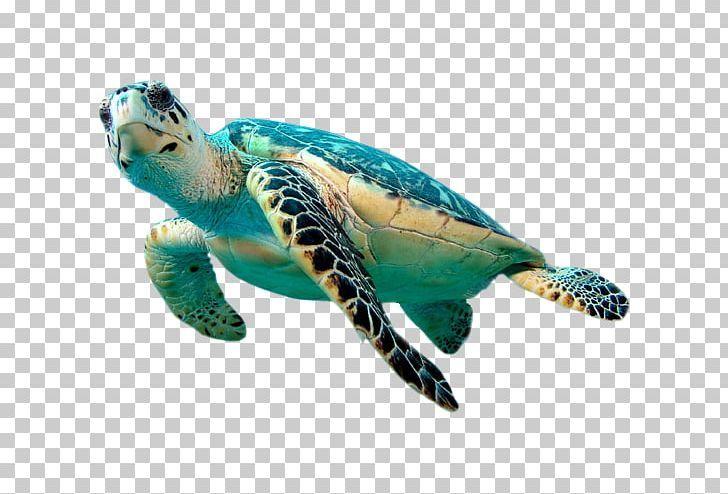 Hawksbill Sea Turtle Green Sea Turtle Png Animal Animals Beak Coral Coral Reef Green Sea Turtle Sea Turtle Drawing Turtle Day