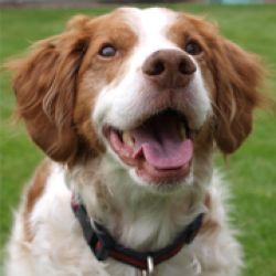 LADY KARMA #4288 MN is an adoptable Brittany Spaniel Dog in Manitowoc, WI. Age/Sex: 6 year 9 month old spayed female Details: House Broken, Crate Trained, OK with dogs and cats. Needs fence Location: ...