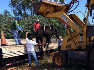 Prefeitura de São Manuel faz o transporte do cavalo adoentado - Um cavalo adoentado, que foi encontrado por munícipes em um terreno baldio na Vila São Geraldo em São Manuel, foi encaminhado nesta quinta-feira, dia 13, para um sítio próximo a Areiópolis, onde recebe toda a assistência necessária para o seu restabelecimento.  A são-manuelense Priscilla - http://acontecebotucatu.com.br/geral/prefeitura-de-sao-manuel-faz-o-transporte-cavalo-adoentado/