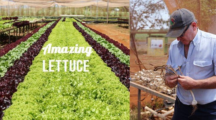 Bundaberg Food Guide: The lettuce is amazing! #foodieheaven