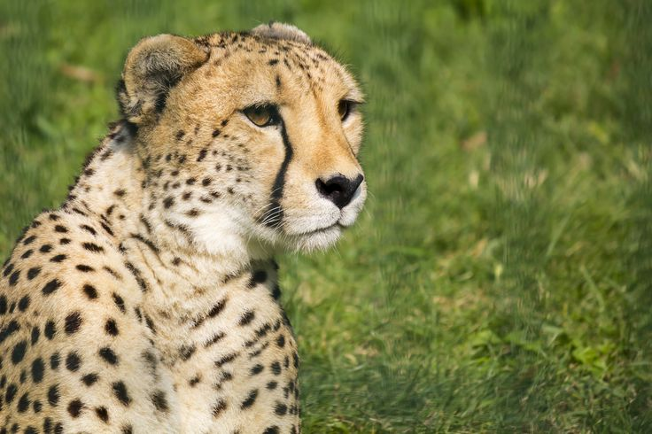 "#Ghepard at ""Le Cornelle"" park - Bergamo (BG) - Italy - #Animals #Photography"