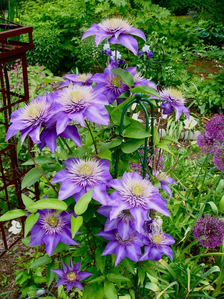 this is clematis 39 multi blue 39 with semi double flowers which i prefer gardening pinterest. Black Bedroom Furniture Sets. Home Design Ideas