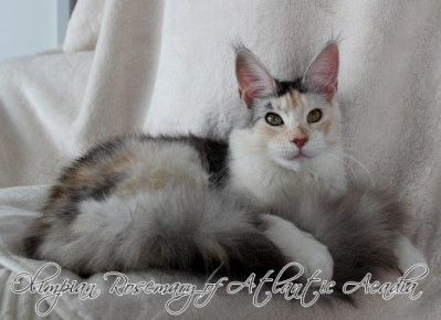 Maine Coon, black torti silver ticked & white (fs 09 25). RU Olimpian Rosemary