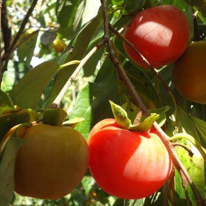 Caqui (Diospyros kaki L., Ebenaceae) Origem – Ásia