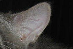 how to clean cat ears mites