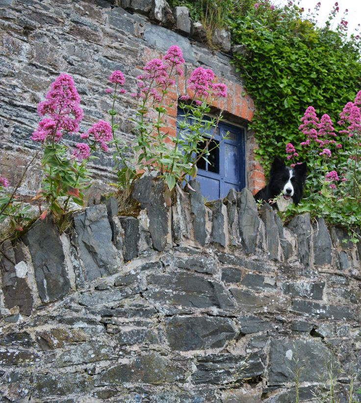 """Hey... Look up here!  A Door leading to a Secret Garden"" shouts Asha the border collie somewhere along the coastal path in Bangor, Co. Down, Northern Ireland."