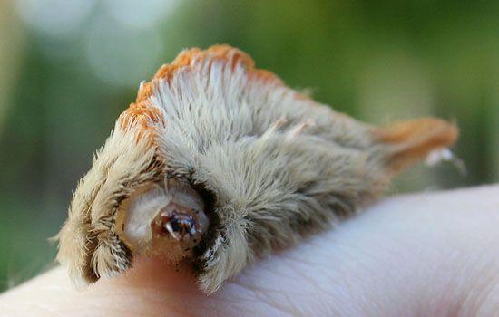 Southern Flannel Moth Caterpillar - Megalopyge opercularis
