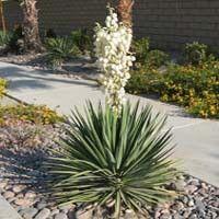 Adams Needle Yucca, Yucca filamentosa