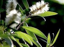 """Eucalyptus For Herbal Medicine And Home Remedies"" Curable Disease: Rheumatism, enteritis, diarrhea, rash, cough, fever, flu, headache, toothache, eczema, pain in the bones and nerves, weak not excited (neurasthenia), insomnia, asthma."