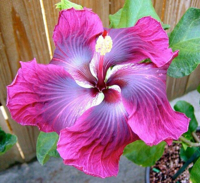Hibiscus - Simpi D.