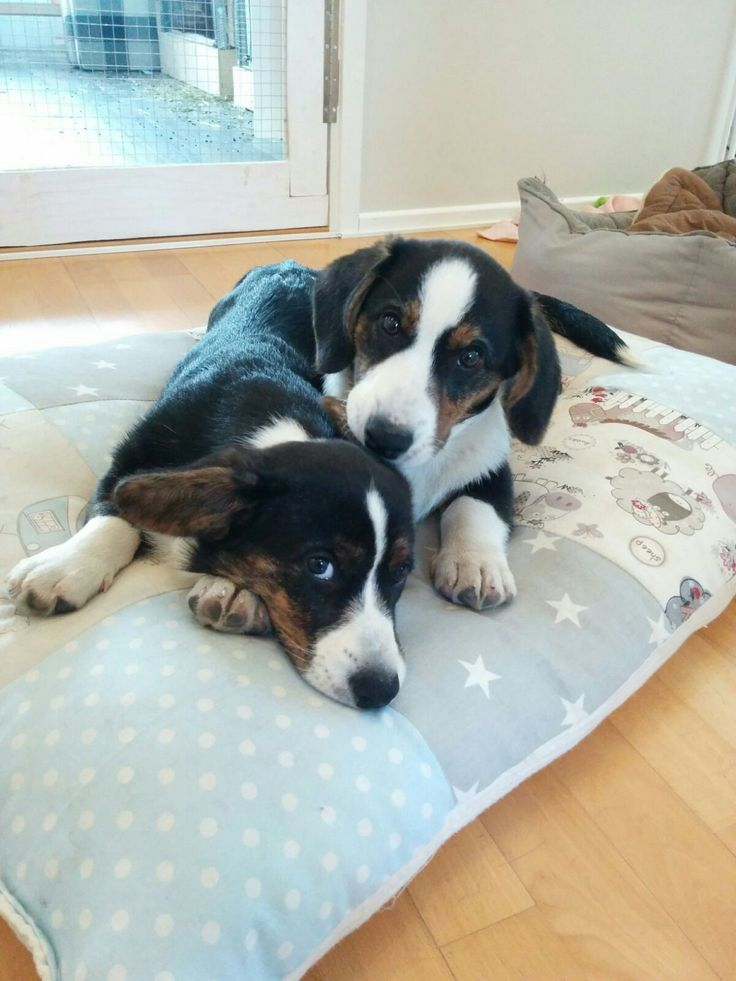 Enjoying our own big bed, our mamma made this for us ❤  Miina & Manu welsh corgi cardigan