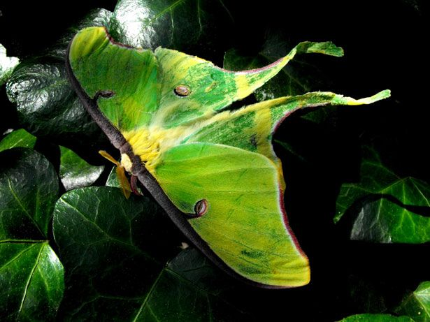 Have you had a recent encounter with a luna moth? This guide provides a range of example of luna moth symbolism and how they are significant