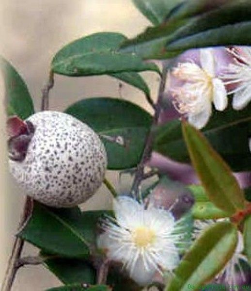 Midyim Berry (Austromyrtus dulcis). A low spreading shrub with dainty foliage developing a reddish shade in colder climates. The white tea tree like flowers are followed by sweet edible mauve-white speckled berries. A very decorative ground cover.