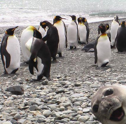 Crasher Seal Photobombs Group Of Penguins (PHOTO)