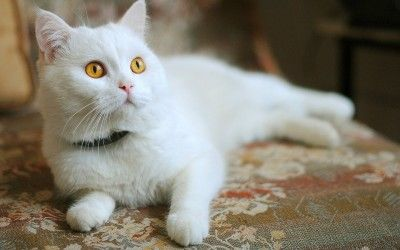 gato angora blanco precio