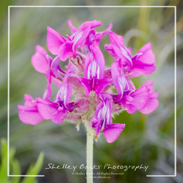 Bessey's Locoweed. Copyright © Shelley Banks, all rights reserved.