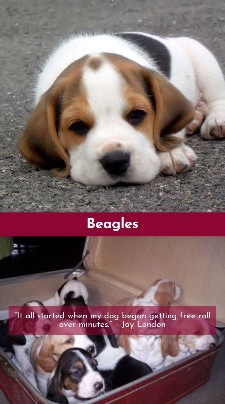 Beagle Friendly And Curious With Images Beagle Beagle Puppy