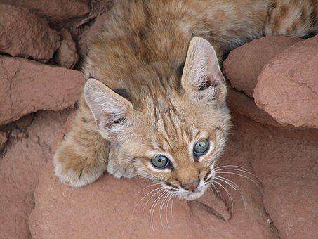 Dziecko Bobcat, Portret, Ryś