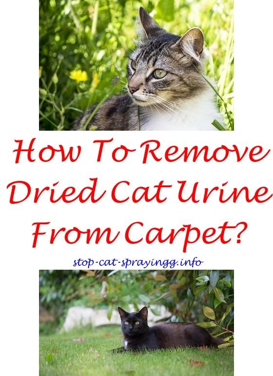 Cat Pee Out Of Couch Cleanses Cat Allergies Cat Urine