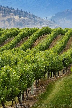 vineyard Osoyoos BC