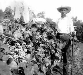 Hermann Missouri played a vital role in the salvation of French wine from a viscious pest. Napa Valley also had help from Hermann with its grape production.