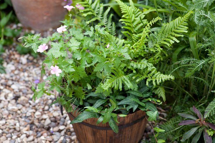 Dryopteris affinis, Hedera helix 'Sagittifolia' and Geranium 'Wargrave Pink'