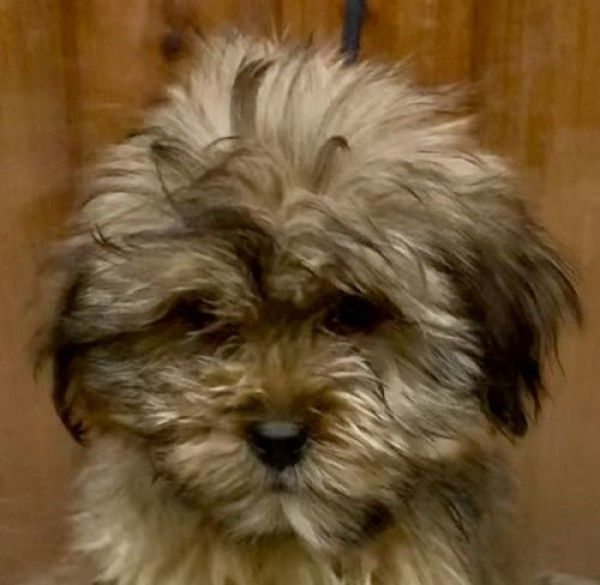 Yorkshire Terrier And Shih Tzu Mixed Dog For Adoption In Mishawaka Indiana Fiery Episode In Foster I In 2020 Yorkshire Terrier Dog Adoption Yorkshire Terrier Rescue