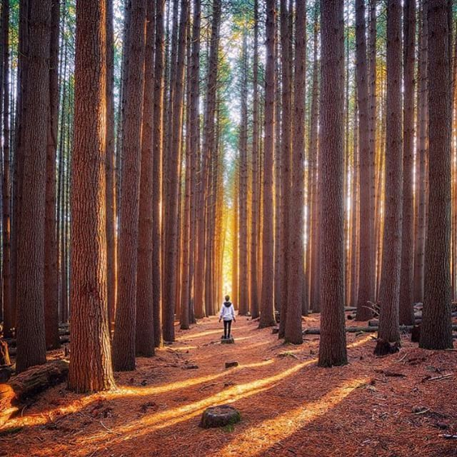 A walk among the sugar pine trees at Laurel Hill   photo by @_danieltran_ #earthfocus by earthfocus