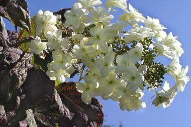 Ortensia quercifolia  L'Hydrangea quercifolia (Ortensia quercifolia) è una pianta da siepe ottima, ma è ideale anche da piantare a grandi gruppi. L'Ortensia quercifolia ha delle bellissime foglie grandi di color verde, che si colorano di un fantastico color rosso e toni di viola in autunno.