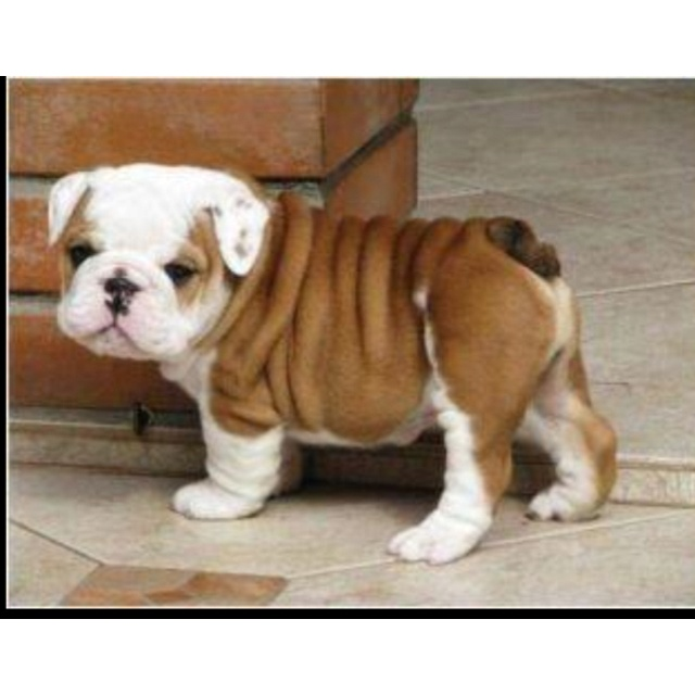 17 best images about cute bull dogs on pinterest bulldog puppies french and christmas bow ties. Black Bedroom Furniture Sets. Home Design Ideas