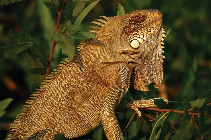 Iguana-verde (Iguana iguana): vive na Amazônia