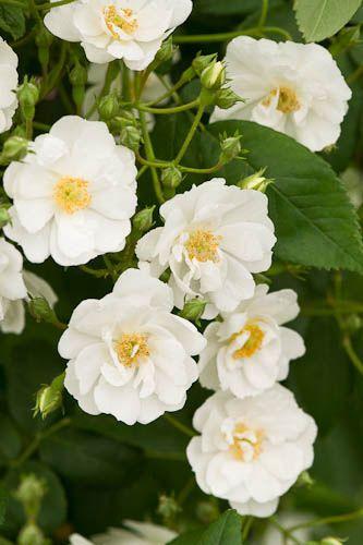 White 'Rambling Rector' roses