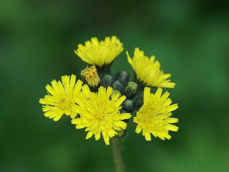 Plante à fleurs jaunes : Épervière des prés - Epervière gazonnante - Piloselle gazonnante - Pilosella caespitosa - Meadow hawkweed - Hieracium pratense - Hieracium caespitosum