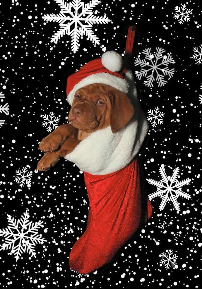 641 Best Vizsla Lovely Images On Pinterest Puppies Cubs