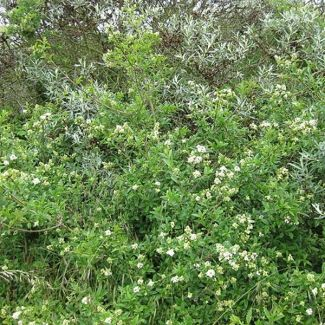 Common privet | Ligustrum vulgare